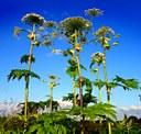 Attention aux plantes invasives